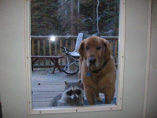 dog-racoon